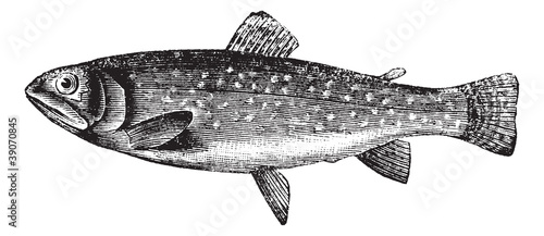 Brown Trout or Salmo trutta, vintage engraving