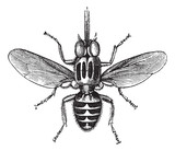 Tsetse Fly or Glossina sp., vintage engraving