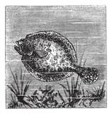 European flounder or Platichthys flesus, vintage engraving poster