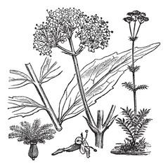 Garden Valerian or Valeriana officinalis, vintage engraving