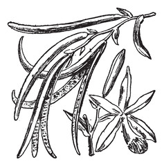 Vanilla or Vanilla planifolia, vintage engraving
