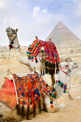 Bedouin camel rests near the Pyramids, Cairo, Egypt