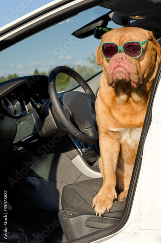 Dog driver inside the car