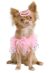 Elegant chihuahua bride with pink dress