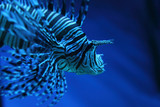 lion fish (dragonfish, scorpionfish)
