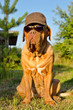 Dog with peaked cap and sunglasses in the garden