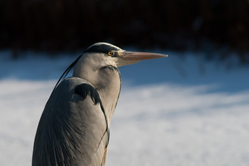 Heron in the winter