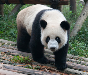 Walking giant panda bear