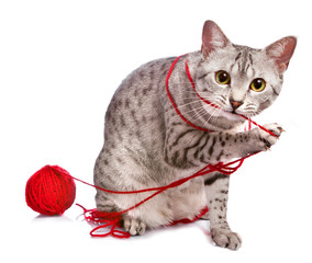 Cute Egyptian Mau plays with yarn