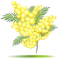 Mimosa in Fiore-Flower-Festa della Donna-Vector