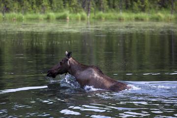 Elchkuh im Wasser