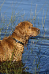 Golden retriever in the river
