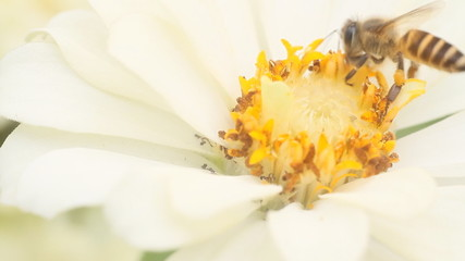 Honey bees in a white zinnia flower