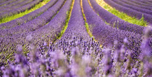 Lavender field countryside provence