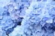 青いアジサイ