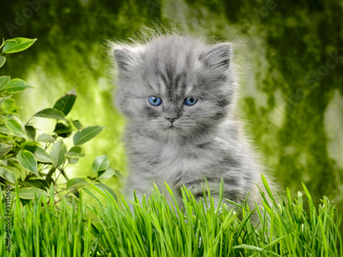 Fototapeten,katze,kitty,katzenbaby,britisch british kurzhaar
