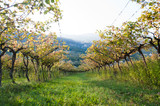 Vineyard in Trentino, Italy