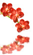 Red orchids on a white background with reflection in water