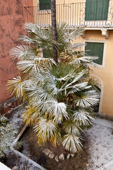 a palmtree downtown vicenza covered by snow