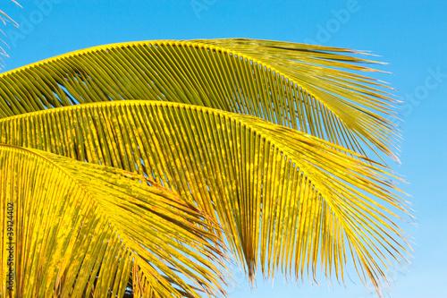 palmes cocotier