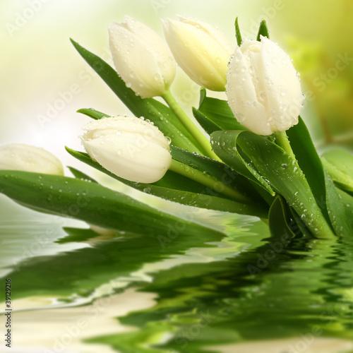 Obraz white tulips