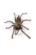 Australian Tarantula on a white background.
