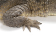 Front claw and scales of an Australian Fresh Water Crocodile.
