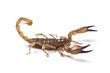 Australian Flinders Ranges Scorpian ready to strike on white. - 39142209