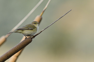 Chiffchaff (Phylloscopus collybita), Greece