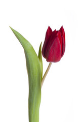 red tulip isolated on white
