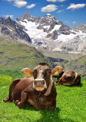 Cow lying in the Swiss Alps