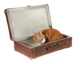 cute tomcat in old brown suitcase poster