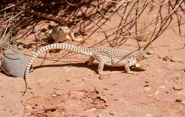 Couple of Desert Iguanas