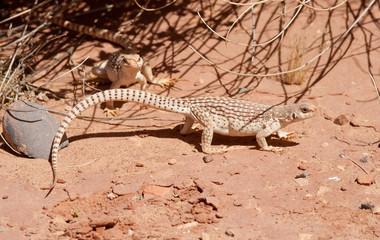Couple of Desert Iguanas