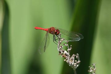 ruddy darter dragonfly Sympetrum sanguineum