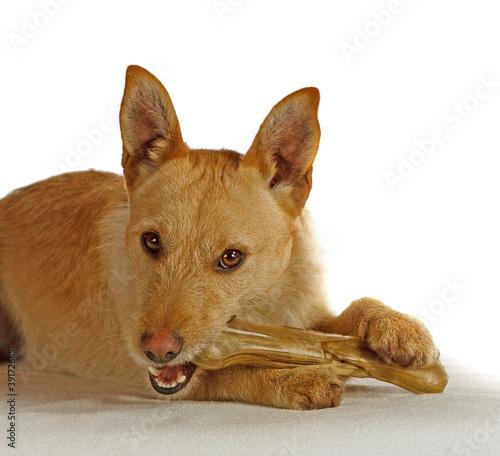 Jack Russel Terrier mit einem Hundeknochen