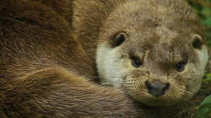 Cute sleepy male river otter yawning and cuddling, close up