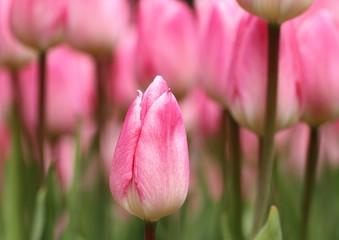 チューリップ(Tulipa)