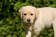 Ein Labradorwelpe