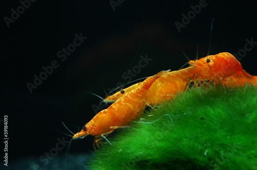 neocaridina heteropoda sakura orange