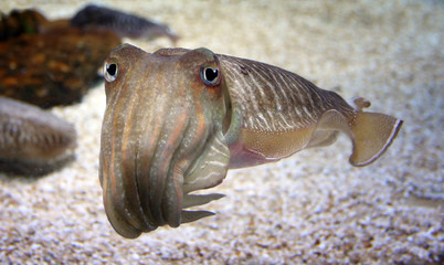 cuttlefish on the background of the sea floor