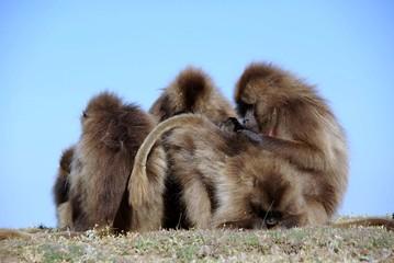 Babouins gelada, Ethiopie