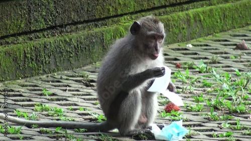 Little monkey eats a napkin