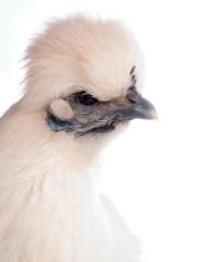 poule Nègre soie