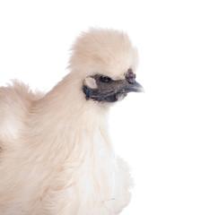 poule Nègre-soie