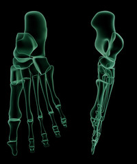 X-ray skeletal structure of the Human Foot