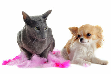 chihuahua et chat oriental