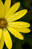 yellow flower with raindrops