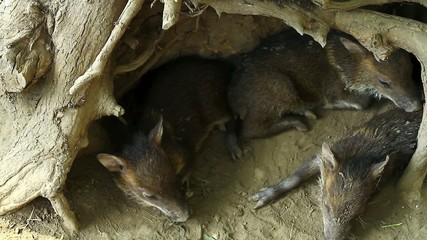 Collared peccary (javelina) piglets hiding under tree roots
