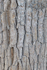 Bark of the oak tree as textured background
